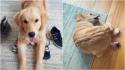 Cadela golden retriever ganha milhões de visualizações no TikTok ao se contorcer para pegar rabo.
