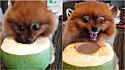 Cachorro Lulu da Pomerânia se transforma em fera cruel quando alguém tenta roubar seu precioso coco.
