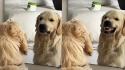 Cachorro golden retriever reage a seu reflexo em espelho.