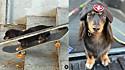 Cadela dachshund impressiona por habilidade em andar de skate.