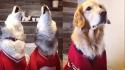 Cadela golden retriever se nega a participar de cantoria fiasquenta de irmãos huskies.