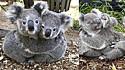 Mais fofo que um coala é ver dois se abraçando. É claro que as fotos viralizaram e conquistaram o mundo inteiro.
