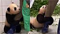 Filhote de panda é filmado agarrando perna de funcionário querendo brincar ao invés de comer.