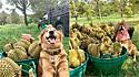 Golden retriever rouba a cena nas colheitas da fruta durian e desde então família cria tradição de fotografá-lo todos os anos em frente as frutas.