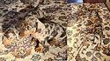 Criadora da raça de cães salsichinhas compartilha imagens dos filhotes escondidos em tapete.