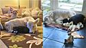 Bezerrinha que foi criada dentro de casa por ter tido um nascimento difícil, pensa que é um cachorrinho e agora se nega a sair.