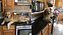 Golden retriever faz de balcão de cozinha seu sofá.