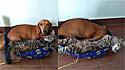 Gato e cachorro salsicha gostam de dormir apertadinhos.