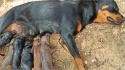 Cadela rottweiler acolhe e amamenta filhotes de porco que perderam a mãe no parto.