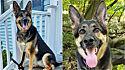 Cadela pastor alemão salva a vida do dono que estava tendo um derrame.