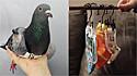 Ex-pombo-correio que foi adotado tem guarda-roupas personalizado.