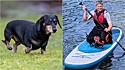 Com a prática de exercícios de fortalecimento muscular, cadelinha dachshund volta andar.