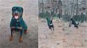 Dono grava vídeo do seu rottweiler pulando como uma gazela.