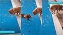 Golden retriever tenta pegar brinquedo da piscina e outro dourado vendo a situação gentilmente o alcança.