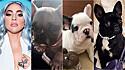 Cães da Lady Gaga, Koji (à esquerda), Gustav (ao centro) e Miss Asia (à direita).