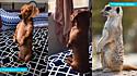 Dono filma sua cachorrinha sentada sobre duas patinhas na cama, parecendo um suricato.