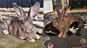 O coelho é maior que o gato e o cachorro da família.