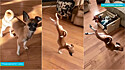 Habilidades de acrobacia do cão tem encantado internautas, desde o dia 7 de março quando o seu vídeo foi compartilhado no TikTok.