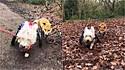O cão cadeirante Jack se tornou cão-guia da raposa cega Pumpkin.