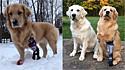 Golden retriever ganha prótese e esbanja alegria ao brincar com seu irmão canino.