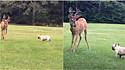 Cervo se aproxima de buldogue francês e os dois começam a brincar no quintal.