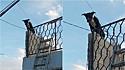 Cão que estava enrolado em fios de poste em cima de muro é resgatado.