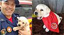 Filhote de labrador iniciará treinamento como cão de resgate dos bombeiros em Santa Catarina.