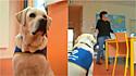 Cão labrador é adotado por escola agrícola em Mauléon, Deux-Sèvres (França), para auxiliar os alunos nos estudos.