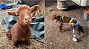 O cordeiro Steven perdeu o movimento das patas traseiras, mas ganhou uma cadeira de rodas.