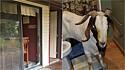 Cabra invade casa em Ohio (EUA) e faz maior bagunça na residência.