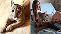 Puma que seria sacrificado é adotada por casal, possui um lar amoroso e é tão amável quanto qualquer outro animal de estimação.