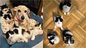 Cão ajuda de sua cachorrinha, dona passa a cuidar de ninhada de gatos em lar temporário em Nova York, Estados Unidos.