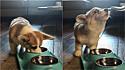 Corgi tem o estranho hábito de uivar depois de mastigar a sua refeição.