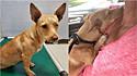Cachorrinha rejeitada por abrigos locais na Geórgia (EUA), agora é amada e cuidada em lar temporário.