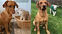 A canina Lola ajudou a salvar o cordeirinho Ronnie.