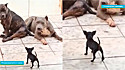 A cena hilária do filhote de pinscher confrontando os dois cães american bully foi compartilhada no TikTok.
