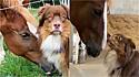 Um cão da raça pastor australiano faz linda amizade com égua.