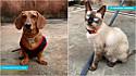 Um dachshund e um gato siamês fazem duelo de pets com rimas hilárias que viralizou nas redes sociais.
