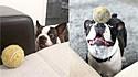 Boston terrier adora brincar com bolas e equilibrá-las no focinho.