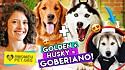 Canal do Amo Meu Pet no Youtube: conheça a raça de cães goberiano