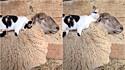 Ovelha fica em êxtase com gatinho massageando as suas costas.