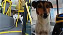 Cachorro faz amizade com motorista de ônibus e adora acompanhá-lo nas viagens.