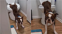 Boston terrier deixa internautas incrédulos ao usar banheiro para suas necessidades.