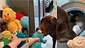 Labrador tenta impedir que sua tutora coloque seus brinquedos na máquina de lavar.
