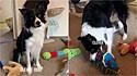 Border collie reconhece 80 brinquedos pelo seus respectivos nomes.