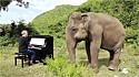 Elefanta dança ao som de piano tocado em santuário.