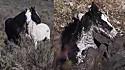 Égua selvagem pede ajuda para homem resgatar seu potro preso em lama.