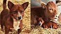Cachorro chora ao se despedir de vaca que o cuidou desde filhote.