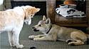 Lobo tem reação inesperada ao ver cachorro parecido com ele.