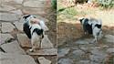 Cachorro adota três filhotes de gato e os leva para passear.